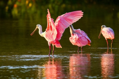 The Roseate Spoonbill: Fort Myers' Friendliest Bird